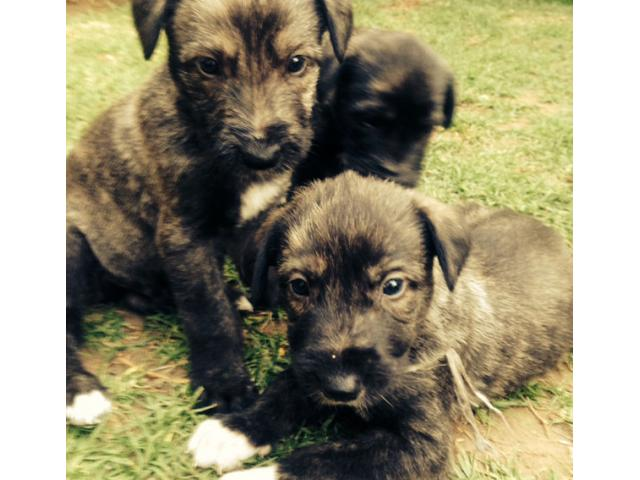 Irish Wolf Hound Puppies For Sale Bryanston - PUPPIES FOR SALE