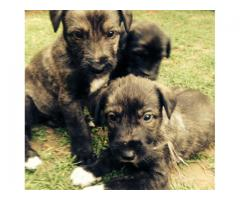 Irish Wolf Hound puppies for sale, they are o...