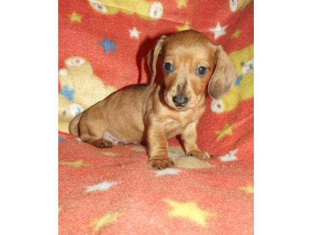 Miniature smooth-haired Dachshund puppies for sale! - PUPPIES FOR SALE