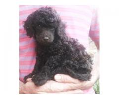Toy Poodle puppies for sale. Dam and Sire of ...