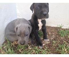 We have 8 beautiful Great Dane puppies for sa...