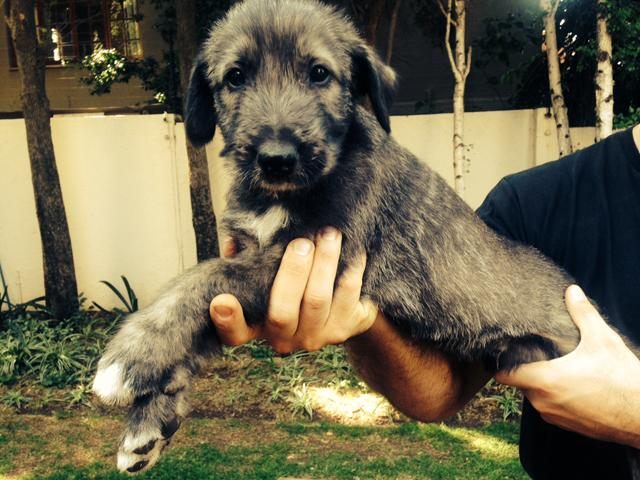 BEAUTIFUL IRISH WOLF HOUND PUPPIES FOR SALE (Imported lines