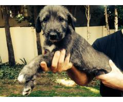 Beautiful Irish Wolf Hound Puppies for sale, ...