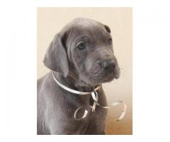 Gorgeous Registered Blue Great Dane Pupppies ...