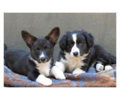 Cardigan Welsh Corgi Puppies for sale, we hav...
