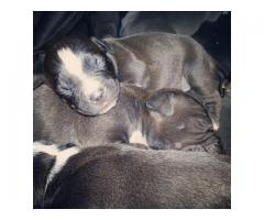 American Pitbull Puppies for sale, they will ...