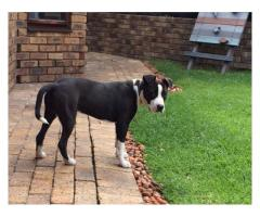 Purebred amstaff puppy for sale(papers availa...