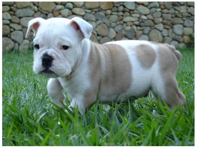 english bulldog puppies for sale with papers Search our easy to use free online puppies and dogs for sale  puppies english bulldog puppies for sale born 4/23 will be  come with papers for details.
