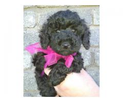 Beautiful Miniature French Poodle puppies for...