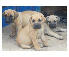 5 x Pure bred Boerboel puppies for sale, larg...