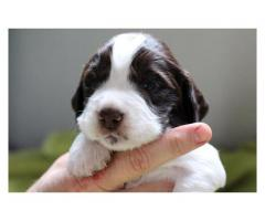 Beautiful Springer Spaniel x Pointer puppies ...