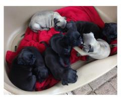 Beautiful Pug puppies for sale, born on 21-10...