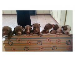 Beautiful pure bred Pitbull puppies for sale,...