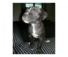 Pedigree American Pitbull Puppies for sale, t...