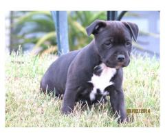 We have 5 beautiful and playful Staffie (Staf...