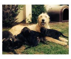 Beautiful Irish Wolfhounds puppies for sale, ...