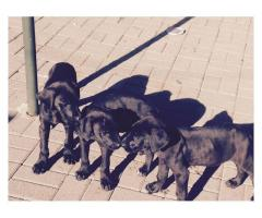 Beautiful black Great Dane Puppies for sale