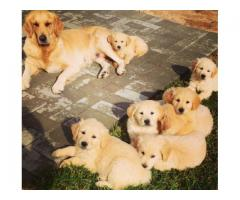 Golden Retriever puppies for sale, we have 4 ...