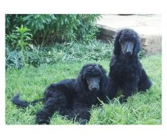 Beautiful standard Poodle puppies for sale, w...