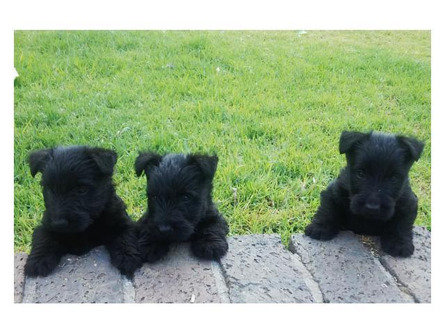 Black Scottish Terrier Pups For Sale Durbanville Puppies For Sale