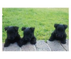 Black Scottish Terrier Puppies for sale, we h...