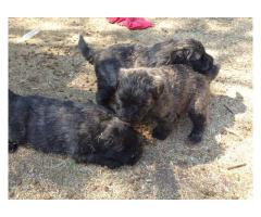 Beautiful Bouvier puppies for sale.  We have ...