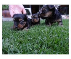 Gorgeous Yorkshire Terrier Puppies for sale, ...