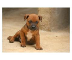 Staffie puppies for sale, inoculated and dewo...