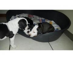 Beautiful Pitbull registered pups