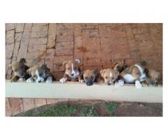 8 x Beautiful and healthy American Staffie pu...
