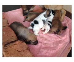 Beautiful Jack Russel puppies for sale, we 5 ...