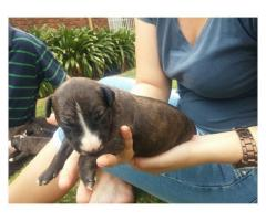 Pure Bred Bull Terrier Puppies for Sale, goin...