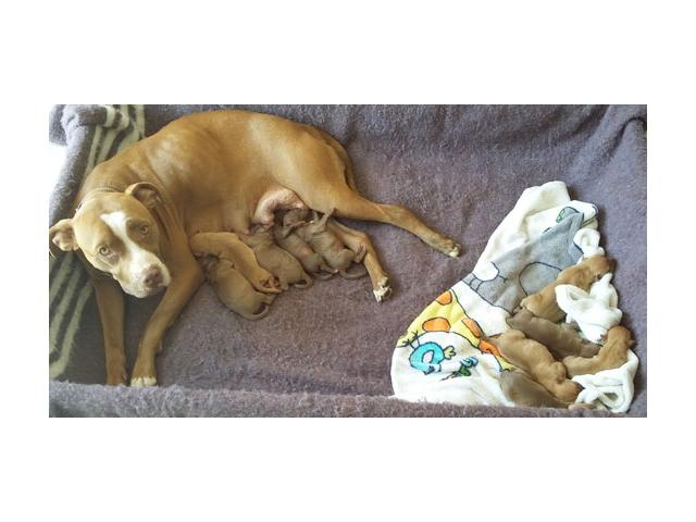 Beautiful Rednose Rocky-Jock Carver Pitbull Puppies for sale