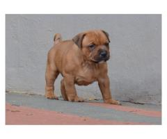 Staffordshire Bull Terrier puppies for sale, ...