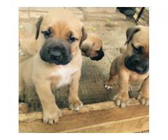 Boerboel Puppies for sale (Champion Bloodline...