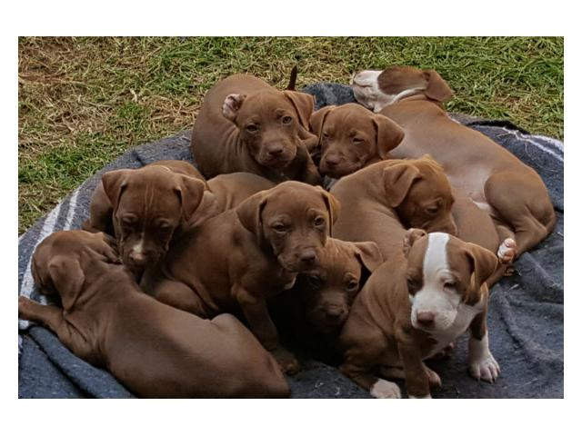 Pitbull dogs for sale in gauteng Roodepoort - PUPPIES FOR SALE
