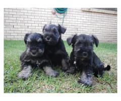 Three beautiful Miniature Schnauzer puppies f...