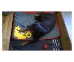 Rottweiler puppies for sale, 3 females and 1 ...