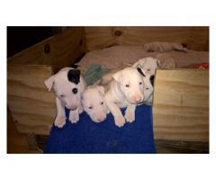 8 Female Bull terrier pups for sale. Kusa reg...