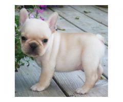 French Bulldog puppies ready for new homes at 12 weeks