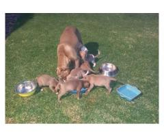 Beautiful registered Pitbull puppies for sale