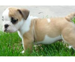 English Bull Puppies for sale