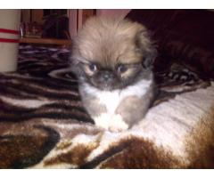 Purebred Pekingese Puppies For Sale