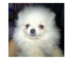 PEDIGREE POMERANIAN BOY
