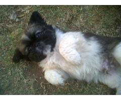 PEKINGESE MINIATURE PUPPIES (2X MALES)