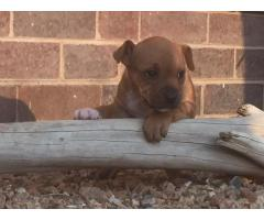 Pure breed Staffie puppies for sale, we have ...