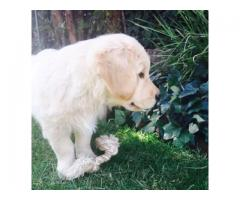 Kusa registered Golden Retriever puppies for ...