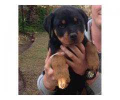 Rottweiler puppies for sale, we have 1 x fema...