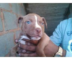 4 American pitbull puppies for sale, we have ...
