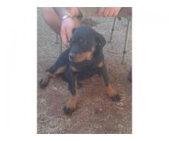 Rottweiler Puppy for sale, we have 1 x female...